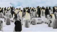 Colony of Emperor Penguins and their chicks |  <i>Kyle Super</i>
