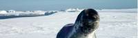 The Leopard Seal is one of Antarctica's most ferocious ocean predators |  <i>Glenn Dawson</i>