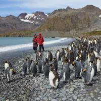 King Penguins on South Georgia | Peter Walton