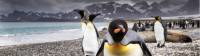 A curious King Penguin comes in for a closer inspection on South Georgia |  <i>Richard I'Anson</i>