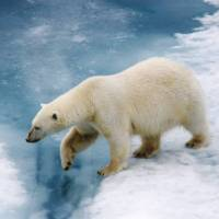 The Polar Bear is native to the Arctic | Bob Muirhead
