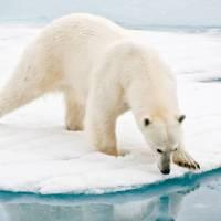 A polar bear at close range in the Arctic | Sue Josephsen