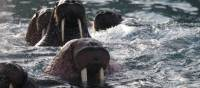 Up close with Walrus in the waters off Herald Island | Rachel Imber