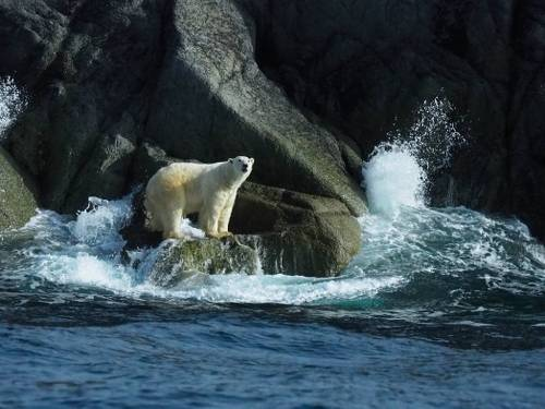 Lone Polar bear climbing around the rocky shores of Herald Island&#160;-&#160;<i>Photo:&#160;Rachel Imber</i>