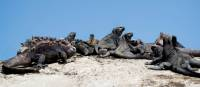 A group of Marine Iguanas soaking up some sun | Alex Cearns