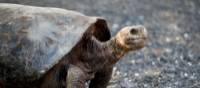 Galapagos Tortoise | Alex Cearns