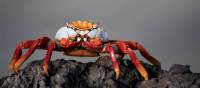 A Sally lightfoot crab in the Galapagos Islands | Alex Cearns