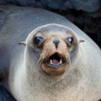 Fur seal in the Galapagos Islands | Alex Cearns | Houndstooth Studios