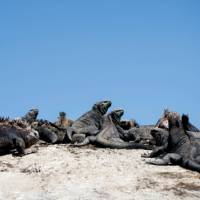A group of Marine Iguanas soaking up some sun | Alex Cearns | Houndstooth Studios