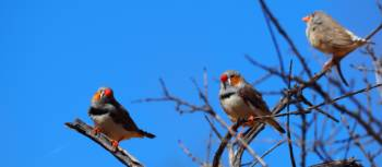 Zebra Finches on the Larapinta Trail | Earle Westbury