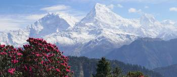 Colourful rhododendrons bloom in the Annapurna region