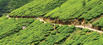 Tea plantations of Meesapulimala | Scott Pinnegar