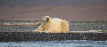Polar bear relaxing at Drem-Khed on Wrangel Island | Rachel Imber